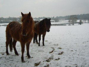 New Forest ponies in winter